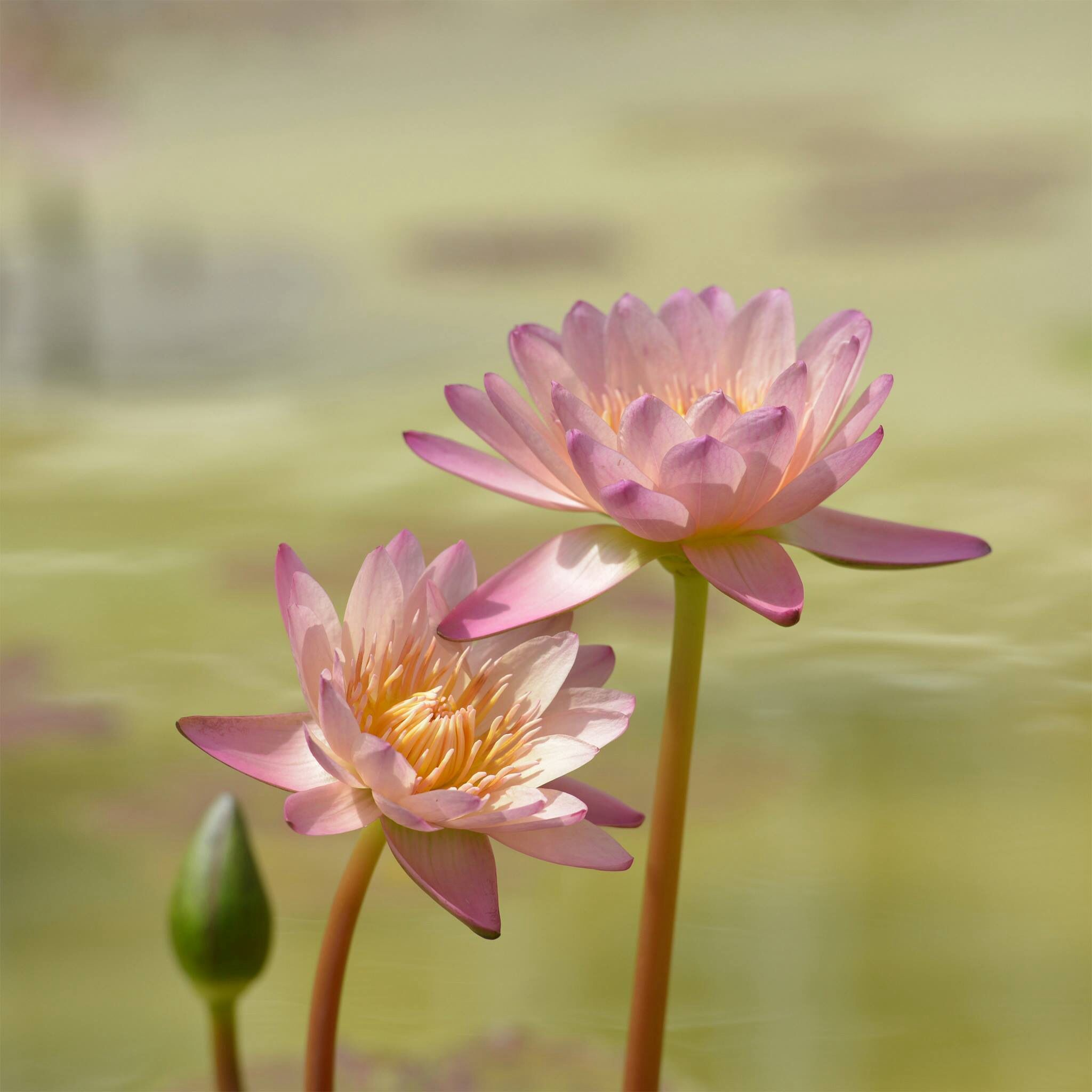 Beauty Asian flowers, Water lilies, Lily lotus