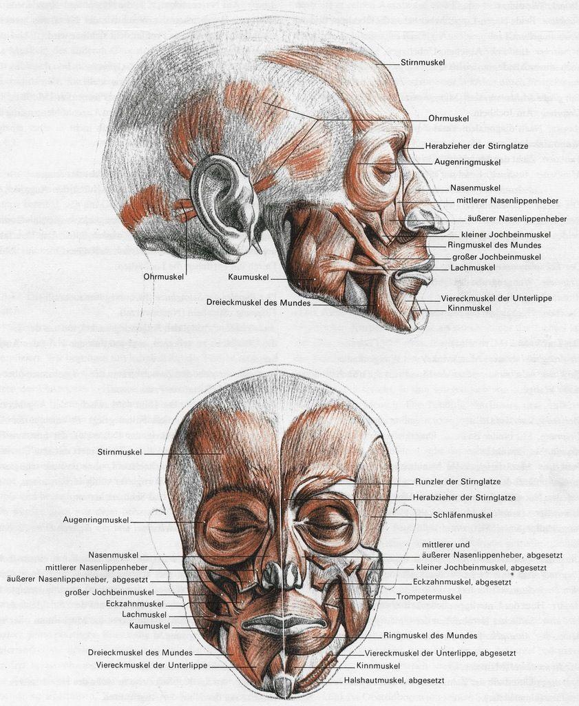 Niedlich Anatomie Des Mundes Und Der Lippen Bilder - Anatomie Von ...