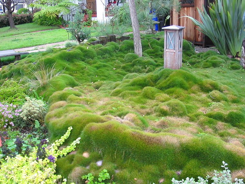 Mounding zoysia grass as ground cover front yard for Mounding grass