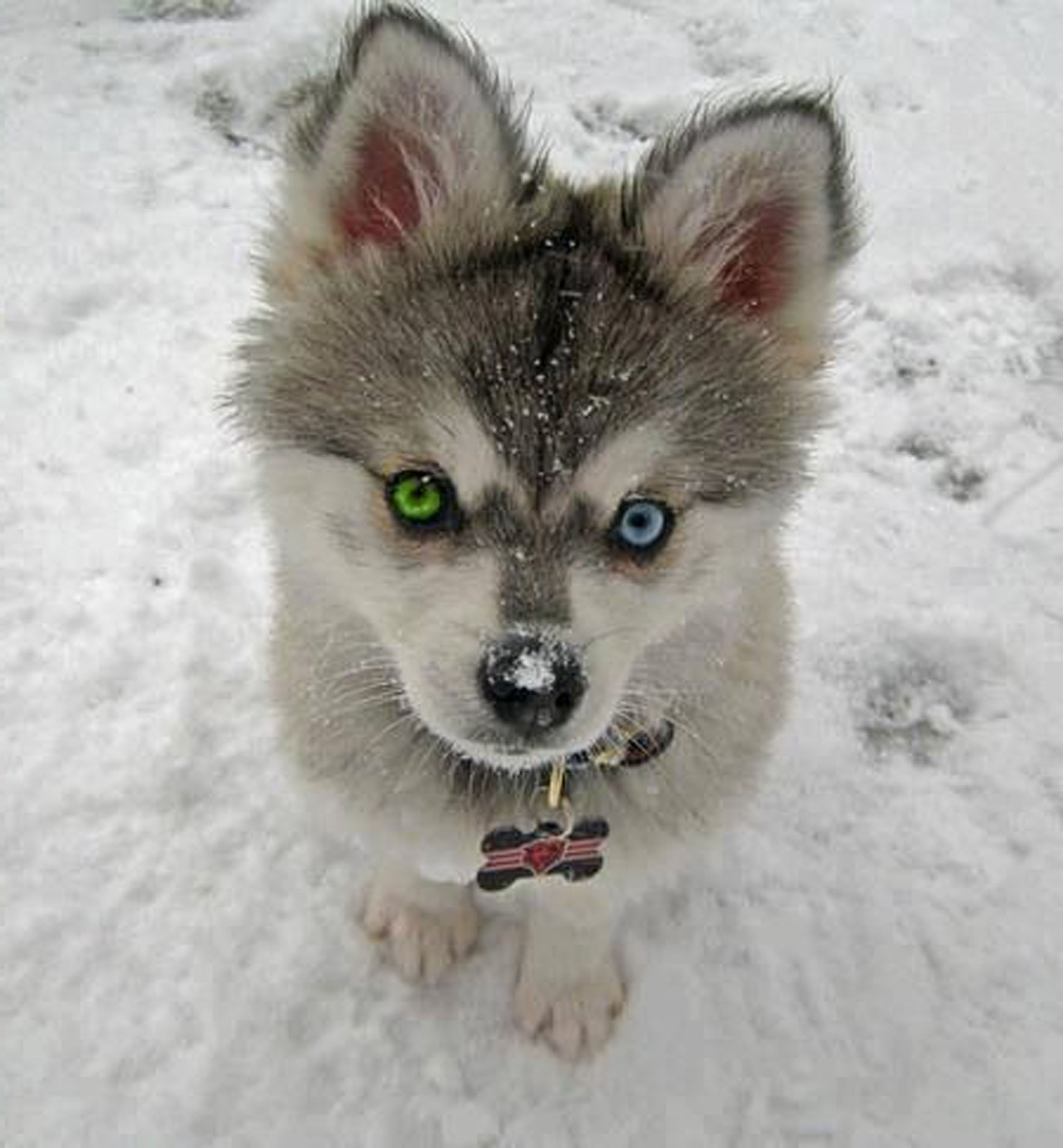 Sweet Husky Cute baby animals, Cute animals