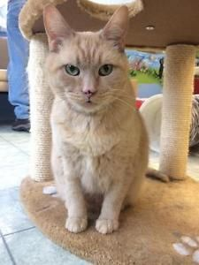 Such A Sweety You Can Tell This Is A Lover Young Male Cat Domestic Short Hair Buff Jordan London Ontario Image 1 Cats Cat Adoption Pets