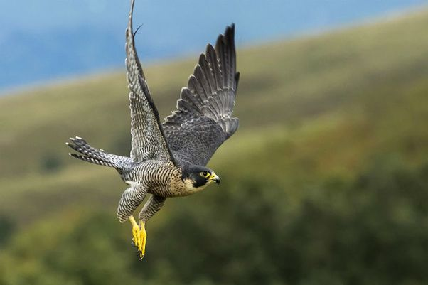 24 September 2017 Amazing Facts About The Peregrine Falcon