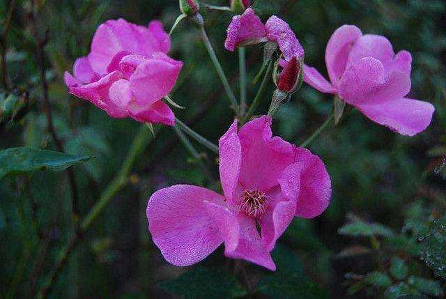 Beauty of Glenhurst - rosa cinese