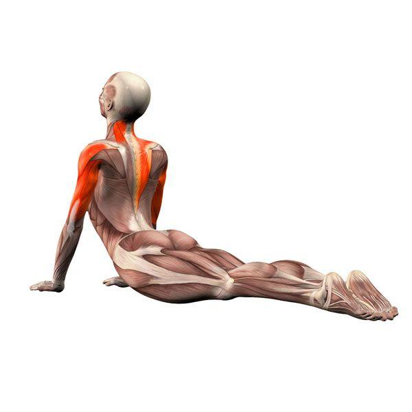 Cobra pose - Bhujangasana - Yoga Poses | YOGA.com | анптомия ...