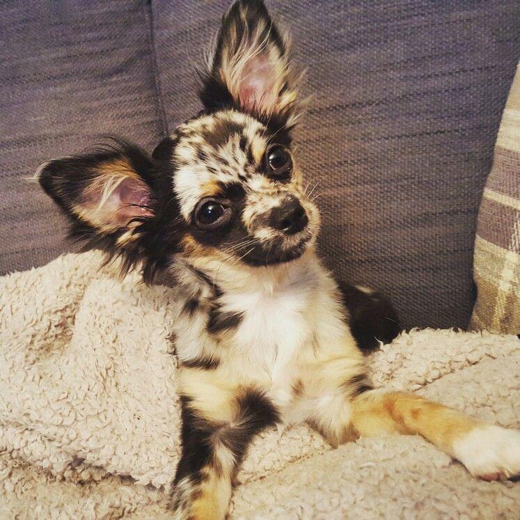 Luna Moonbeam Black Merle Blue Merle Longhaired Chihuahua 5 Months