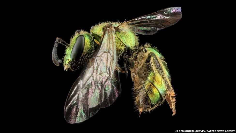 Augochlorella Aurata, hembra