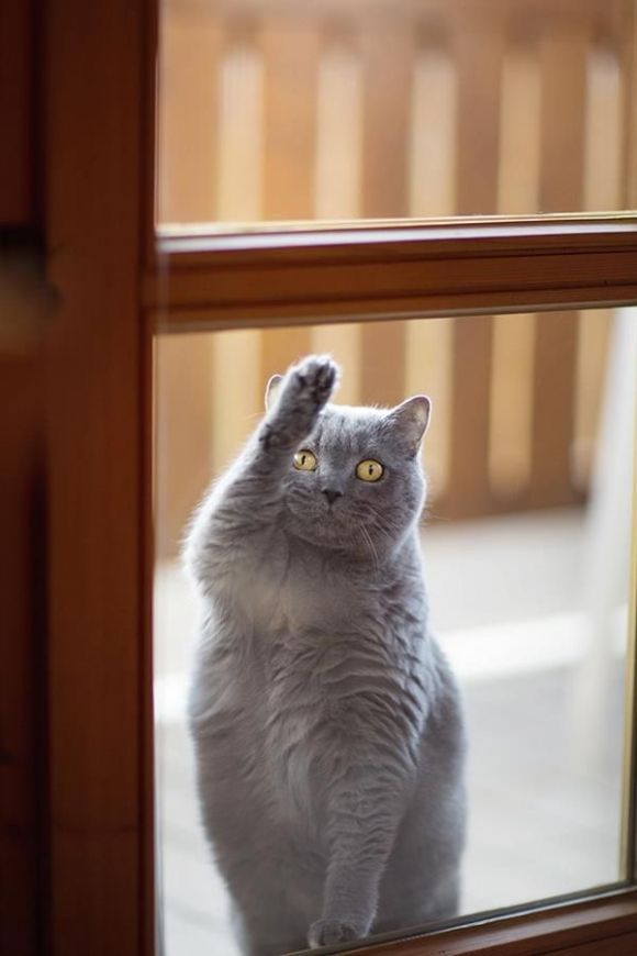 Mojo Uses International Cat Sign Language For I Ve Conned All The Neighbors Into Feeding Me And Now I M Ready For M Chats Gris Chat Gratuit Fond D Ecran Chat