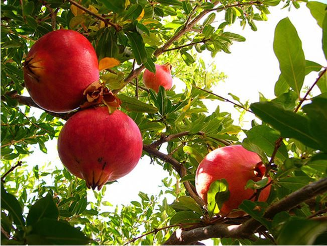 pomegranite : I went down into the garden of nuts to see the fruits of the valley, and to see whether the vine flourished, and the pomegranates budded. song of solomon 6:11