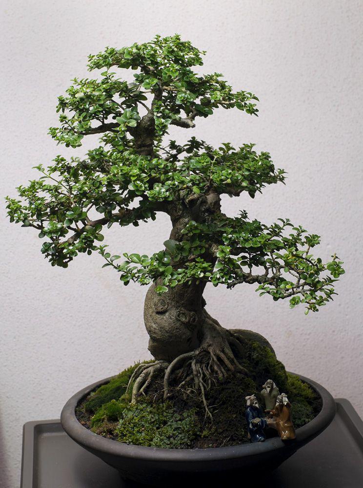 RP Premna Obtusifolia Bonsai, Zen garden, Plants