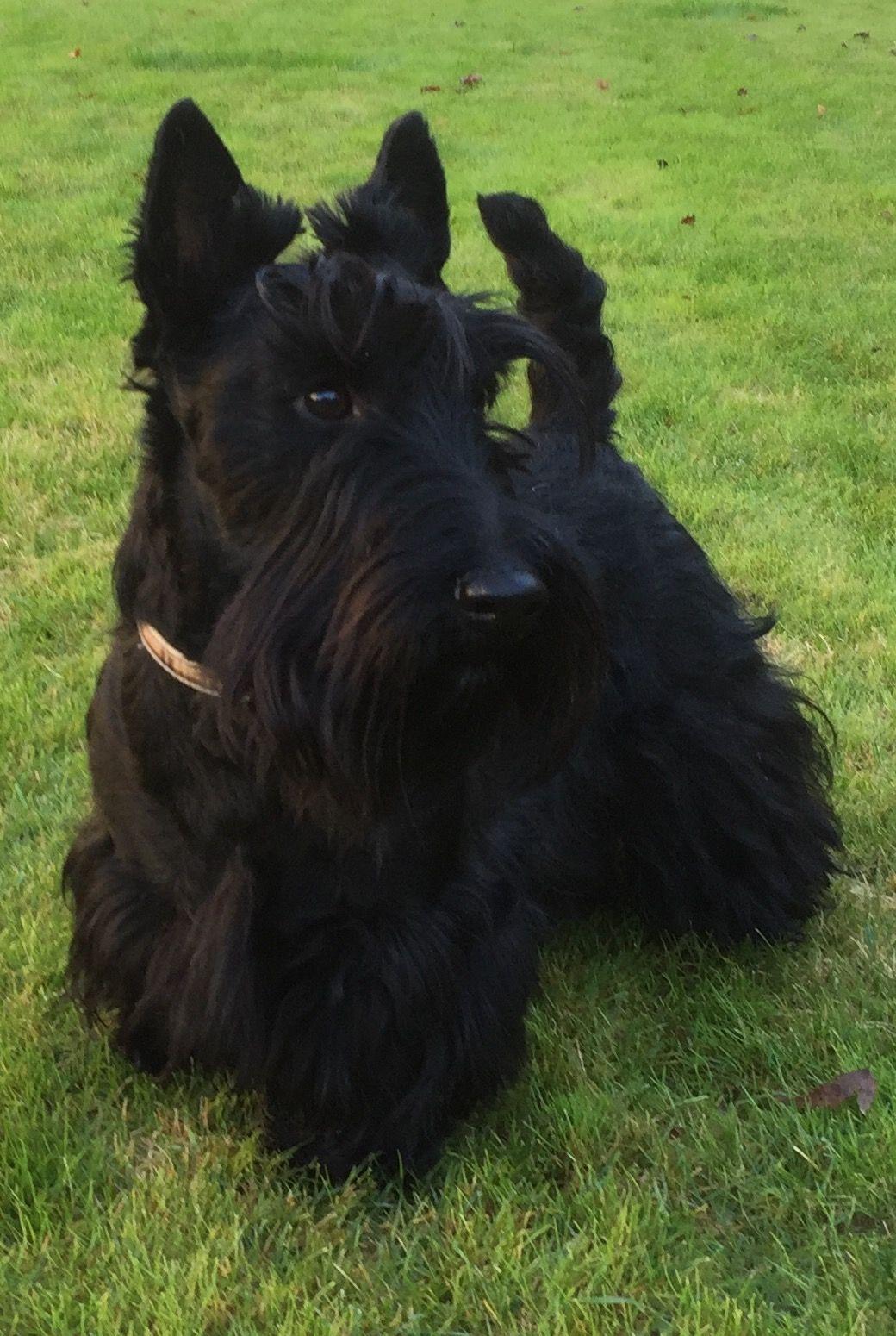 Corte de pelo a terrier escoces