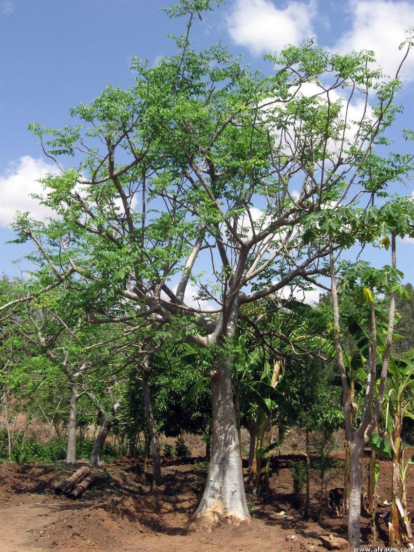 مدونة معلومة حرة Free Info Blog نبات المورينجا شجرة المورينجا معجزات و فوائد لا تحصي Moringa Tree Moringa Tree Moringa Tree