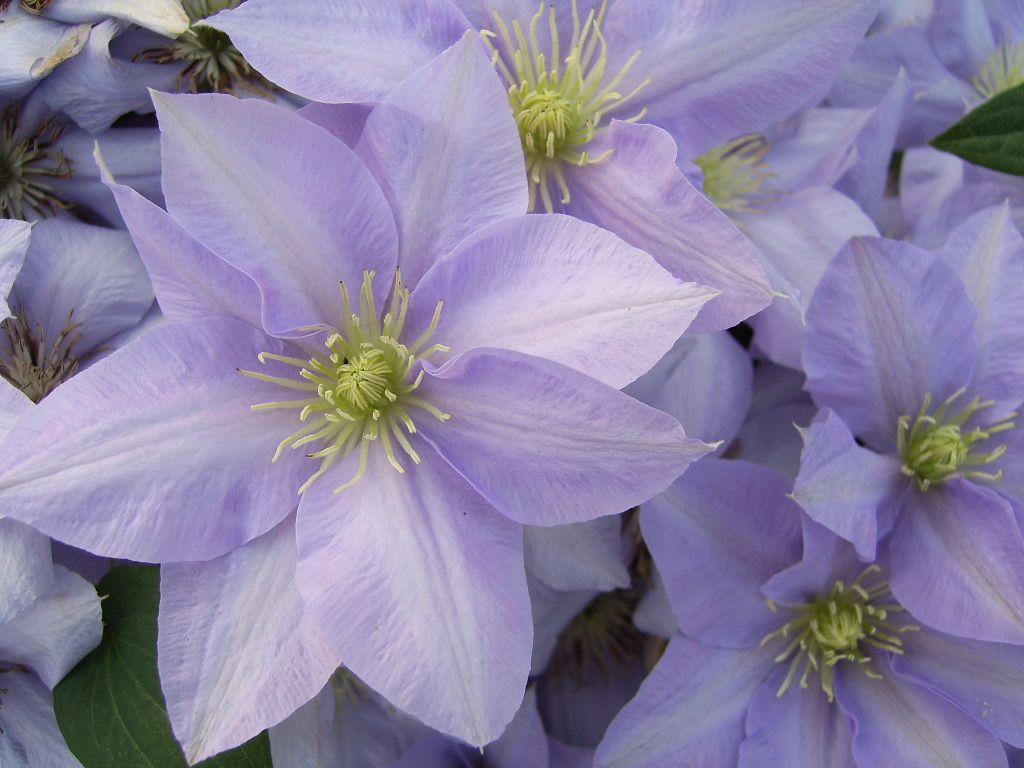 Evison clematis collection ematis flowers