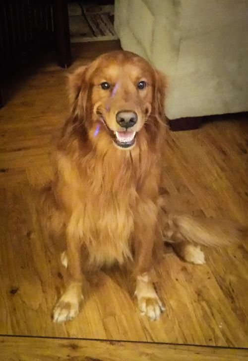 Pin By Michelle Pooler On Adoptable Pets Dogs Golden Retriever