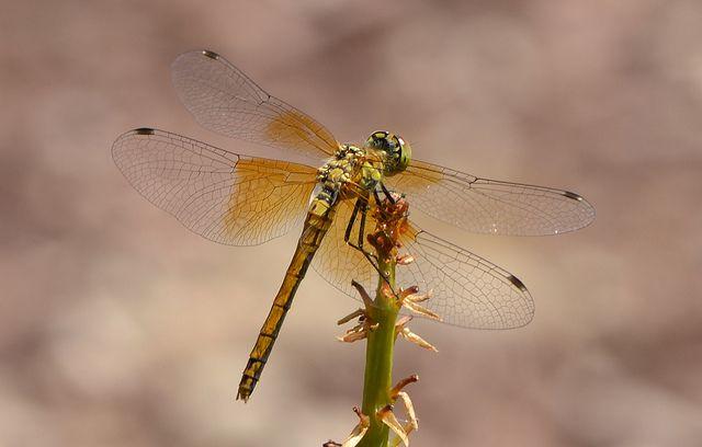 Dragonfly #7 by Jayaretea Snaps, via Flickr