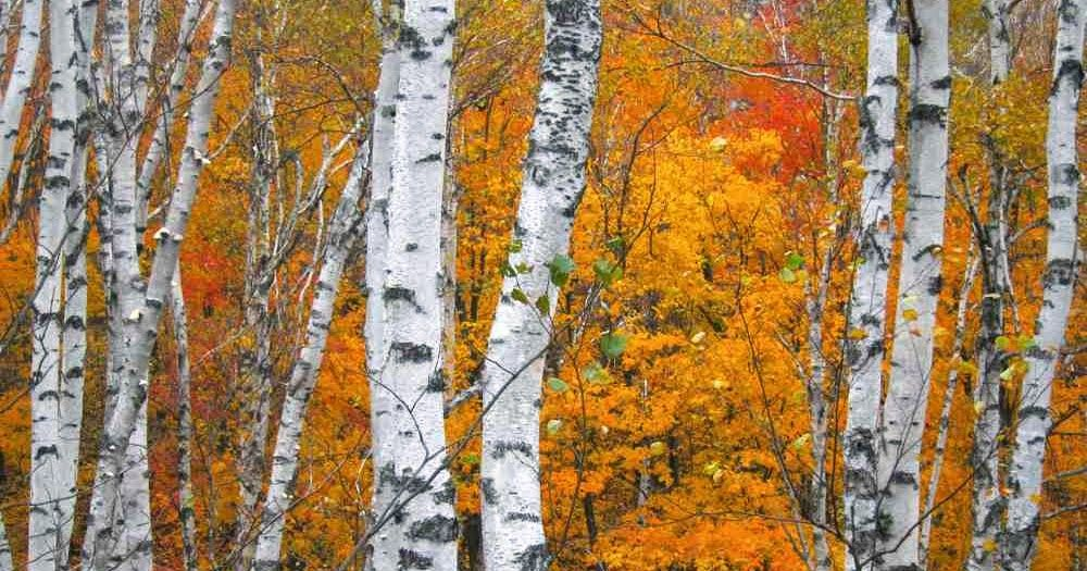 Welcome Fall! Birch Tree Project