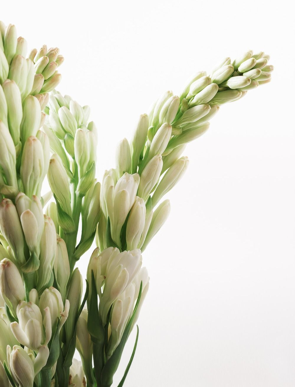 Tuberose Colors White Season July August Scent Fragrant Cost