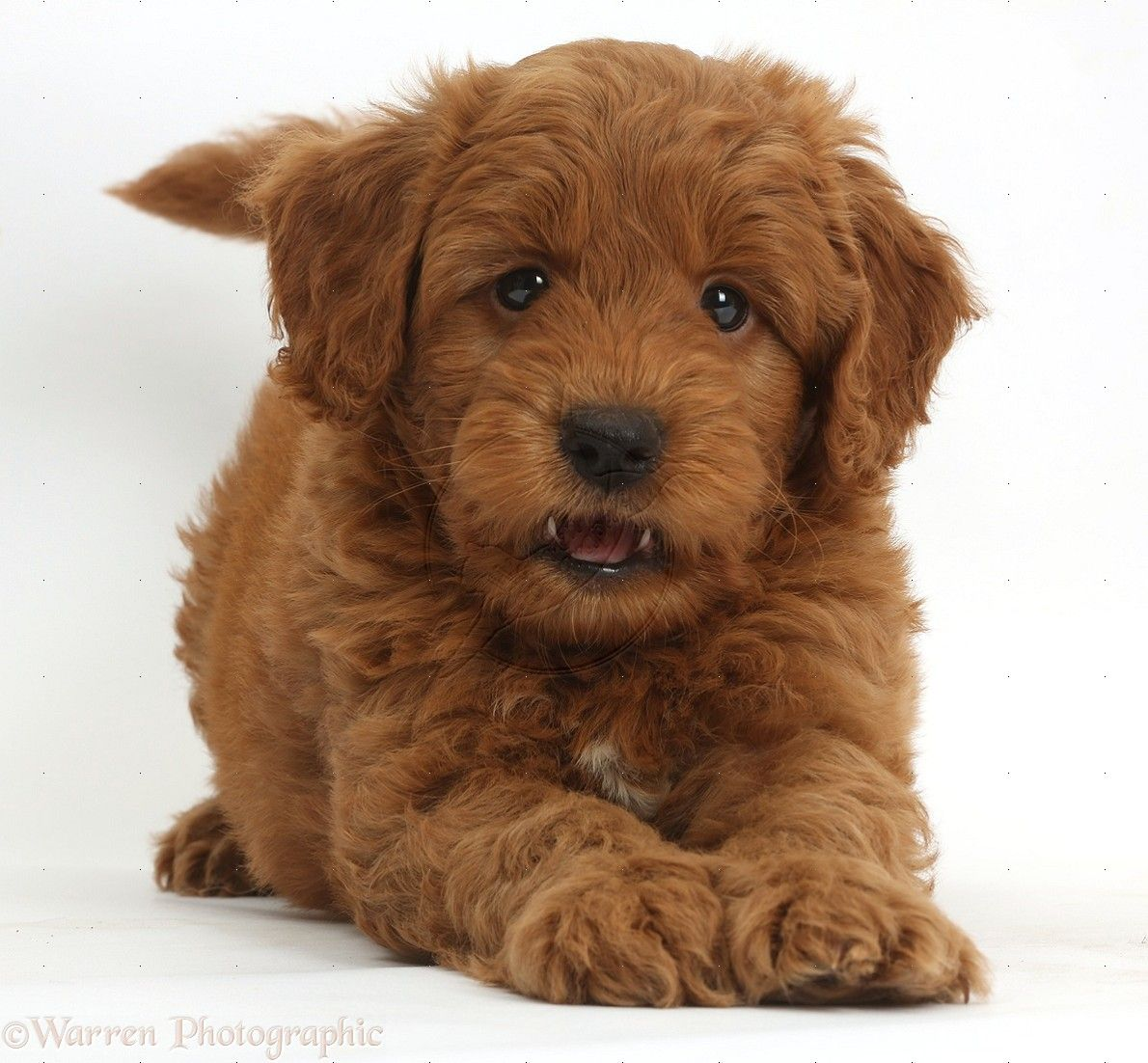 goldendoodle puppies Google Search F1b goldendoodle