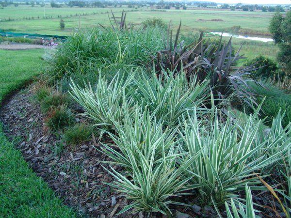 Liriope Stripey White Flower Bed And Garden Monrovia Plants