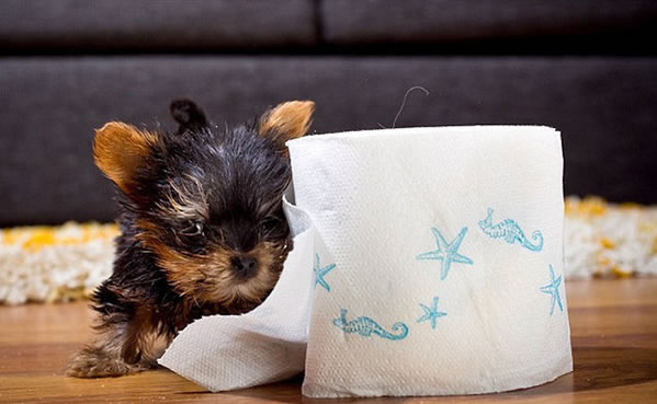 El perro más pequeño del mundo (Fotos)