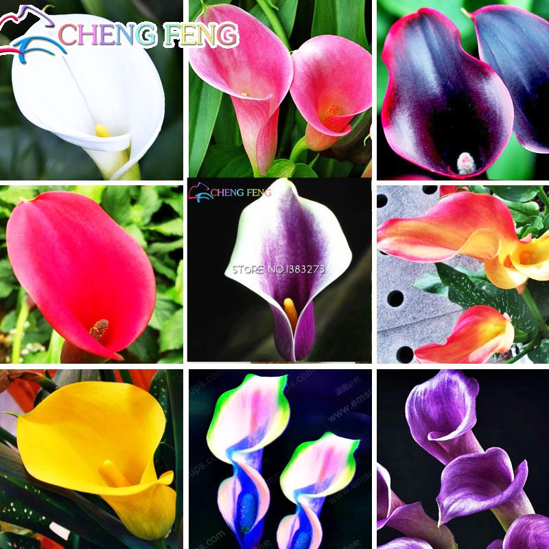 Rare Beautiful Mixed Calla Lily Rose Flower Seeds Home Garden Plants Bonsai Seed