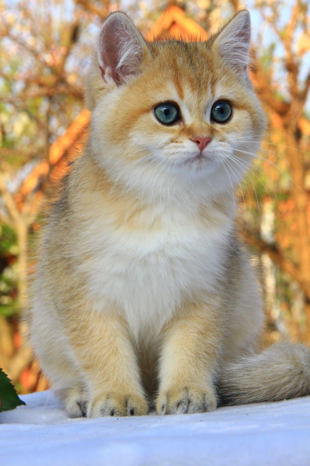 Kitty Kittens British Shorthair Ny11 Ny25 Golden Cat Male For Sale Cats British Shorthair Kittens Cute Cats