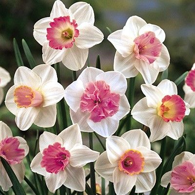 Pink narcissus flower pink persephone pinterest daffodils pink narcissus flower pink mightylinksfo