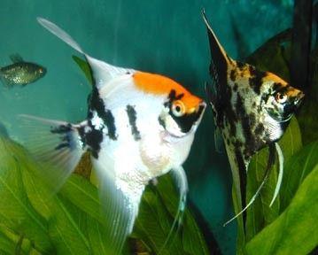 pterophyllum koi   Pterophyllum scalare Koi / Maanvis Koi   Aquarium vissen database ...