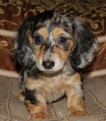 Black And Cream Dapple Dachshund Dachshund Puppy Long Haired