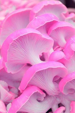 Some very strange pink mushrooms...  From Google images.