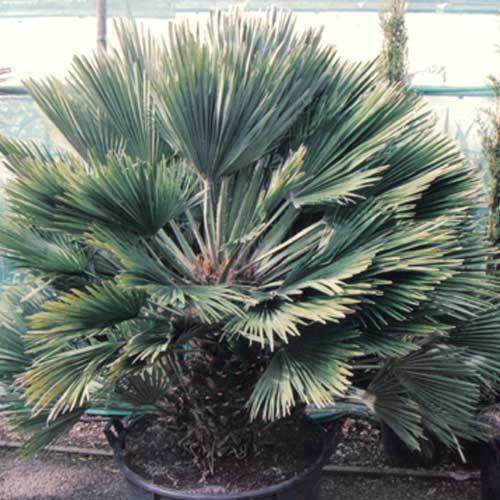 le chamaerops humilis vulcano est un palmier nain la forme buissonnante palmiers. Black Bedroom Furniture Sets. Home Design Ideas