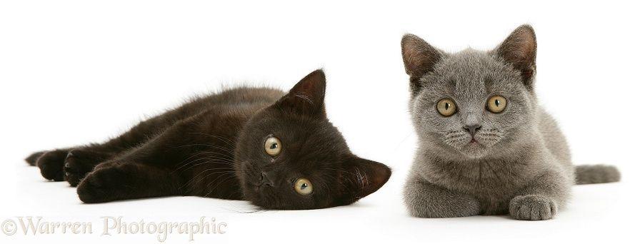 British Shorthair Blue And Black Kittens Photo Kitten Photos