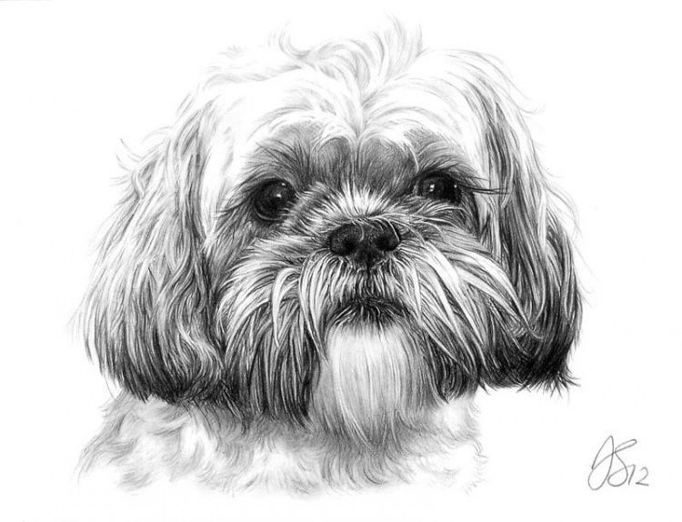 Cute Shih Tzu Coloring Pages