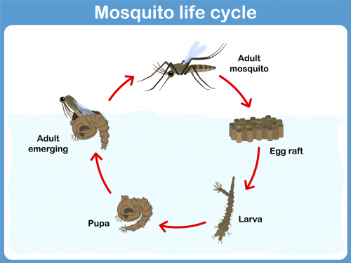 Mosquito Life Cycle Teaching Tools Pinterest Mosquito Life