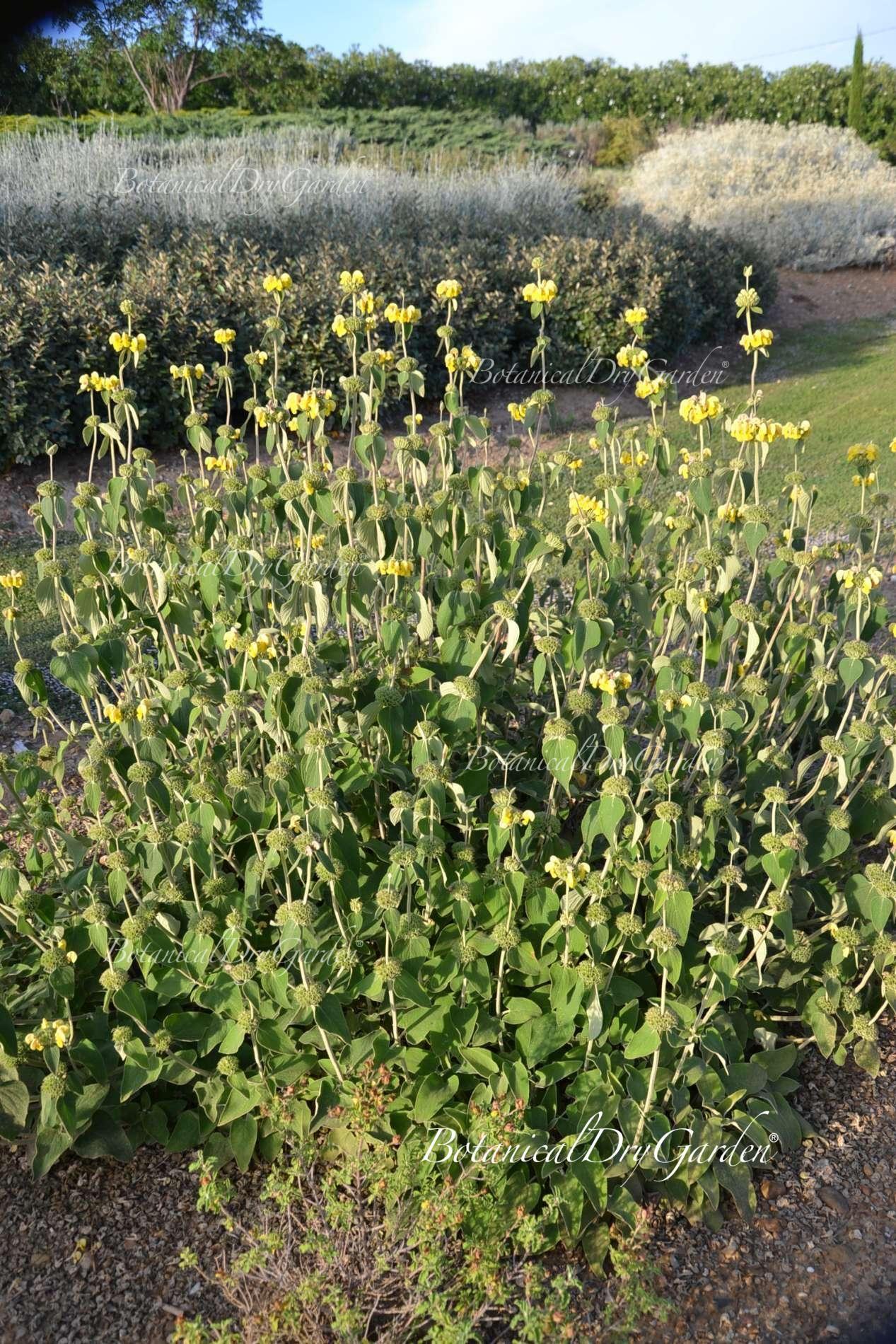 Arbusto A Fiori Gialli phlomis x 'edward bowles'   fiori gialli, fioritura, fiori