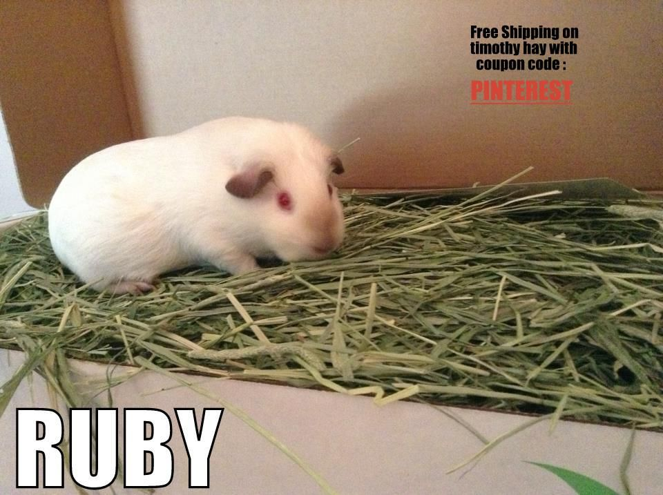 ruby the guinea pig modeling in the timothy hay http