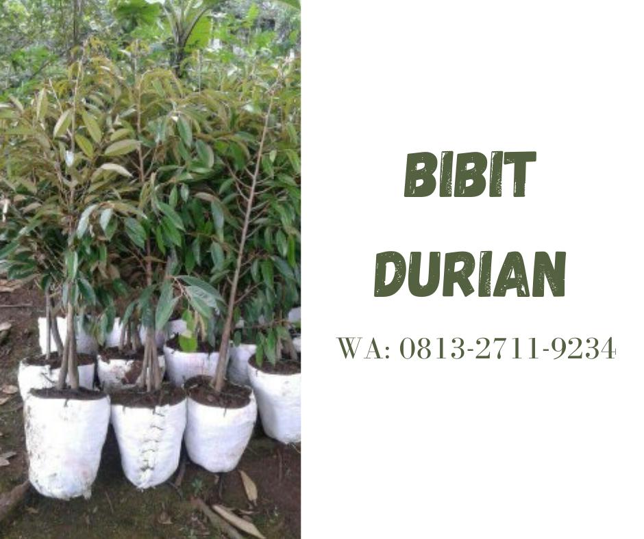 Kebun Durian Di Bangka