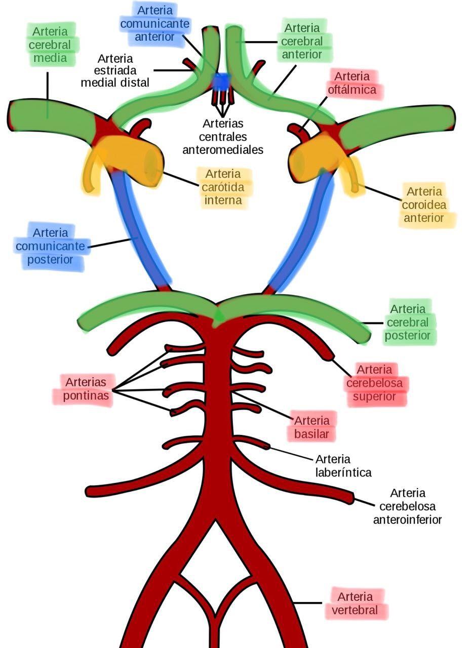 Polígono de Willis | Med | Med | Pinterest | Estudiar, Anatomía y ...