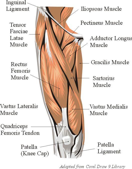 Anatomy - quad muscles | Leg & Butt Workouts | Pinterest | Muscles ...