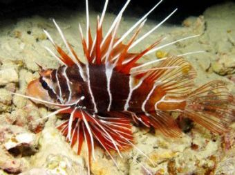 Tailbar Lionfish Pterois Radiata Http Marinefishdirect Com Au Marine Fish Lionfish And Scorpions Tailbar Lionfish Pterois Ra Lion Fish Radiata Marine Fish