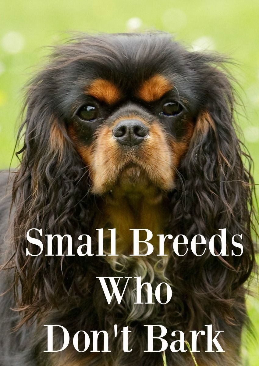 Looking For Small Dogs That Don T Have That Yippy Reputation Check Out Our List Of Little Guys Who Really Aren T Big On The Barking Learn Small Family Dogs Best Small Dog