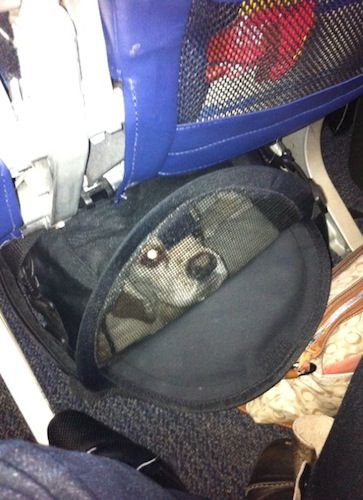 Traveling With A Quot Large Quot Small Dog On An Airplane Tons Of