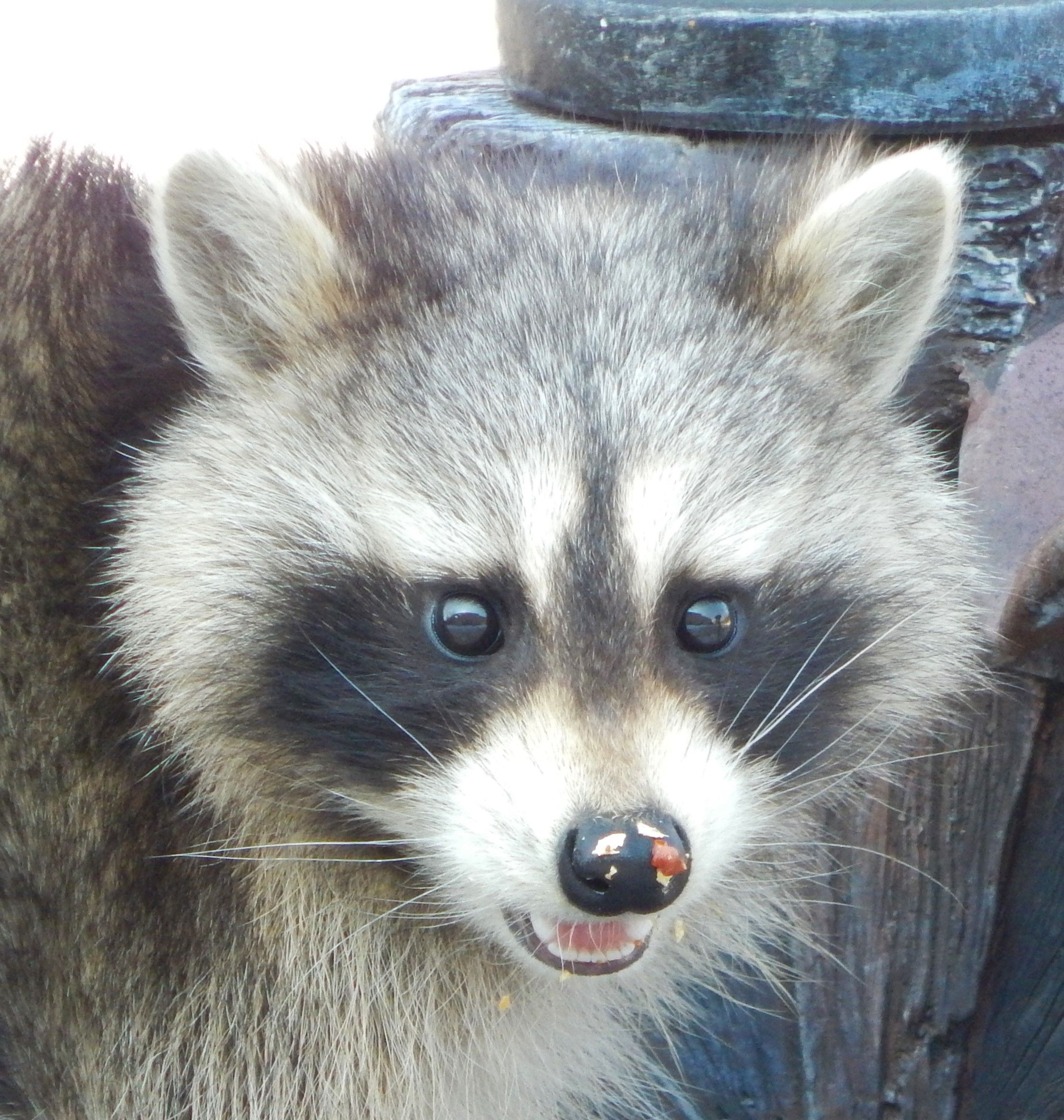 raccoon eating peanuts in our backyard just look at that face