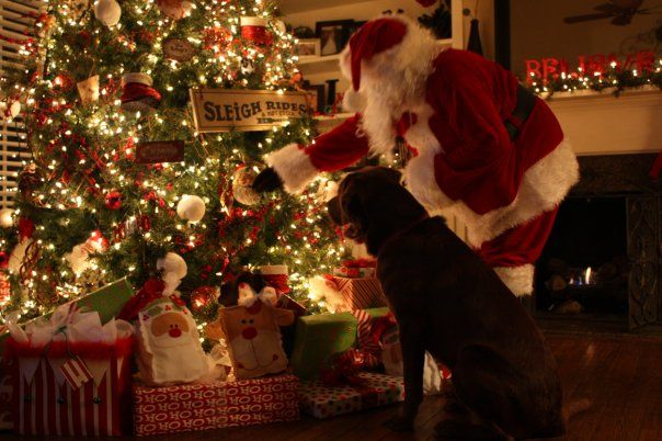 My Living Room With A Few Of My Favorite Things.... My Chocolate Lab,  Christmas Tree And Santa!! U003d)