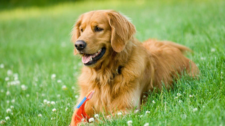 Golden Retriever Dog Breed Information Golden Retriever Dog