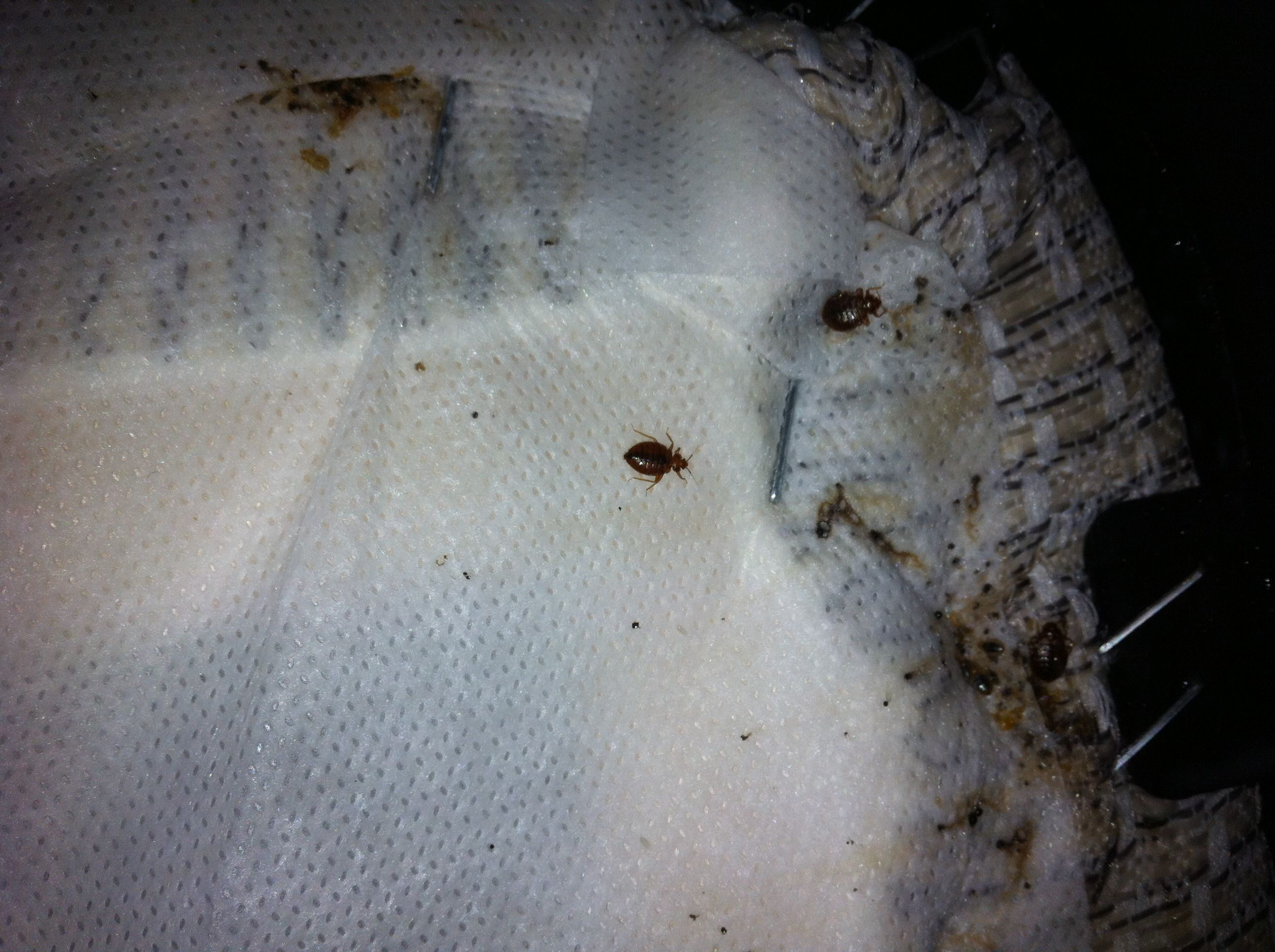 Bed Bugs Leave Small Black Spots Usually Near The Head End Of Mattress Or Box Spring If There Is Moderate To Heavy Activity Black Pat Mites Bed Bugs Bugout