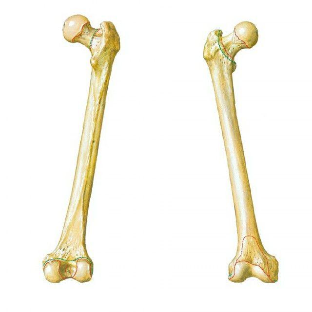 El fémur es el hueso del muslo, el segundo segmento del miembro ...