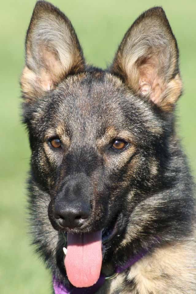Adopt Ziva On Dog Search Cute Animals German Shepherd Dogs
