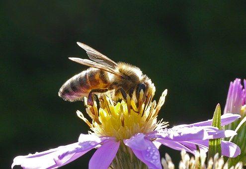 Bee, Honey Bee, Blossom, Bloom