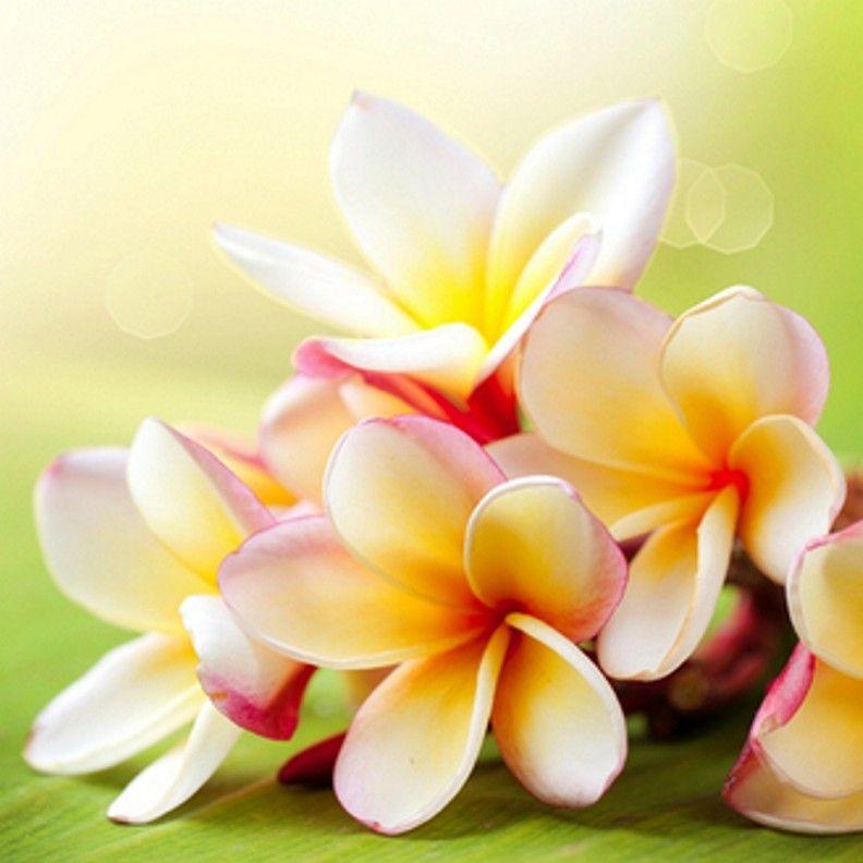 Sun Kissed Plumeria Fragrance Oil Plumeria Flowers Flower Landscape Flower Art