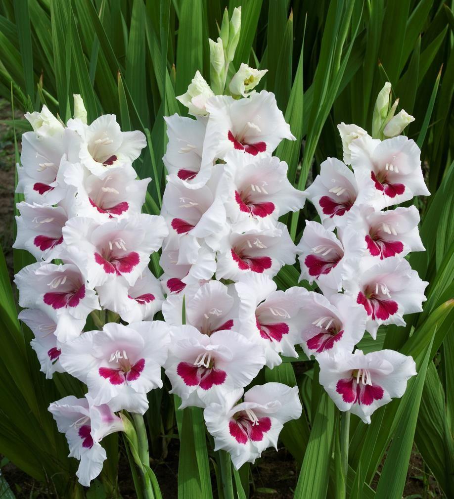 Bulbo Gladiolo lila 10 unidades